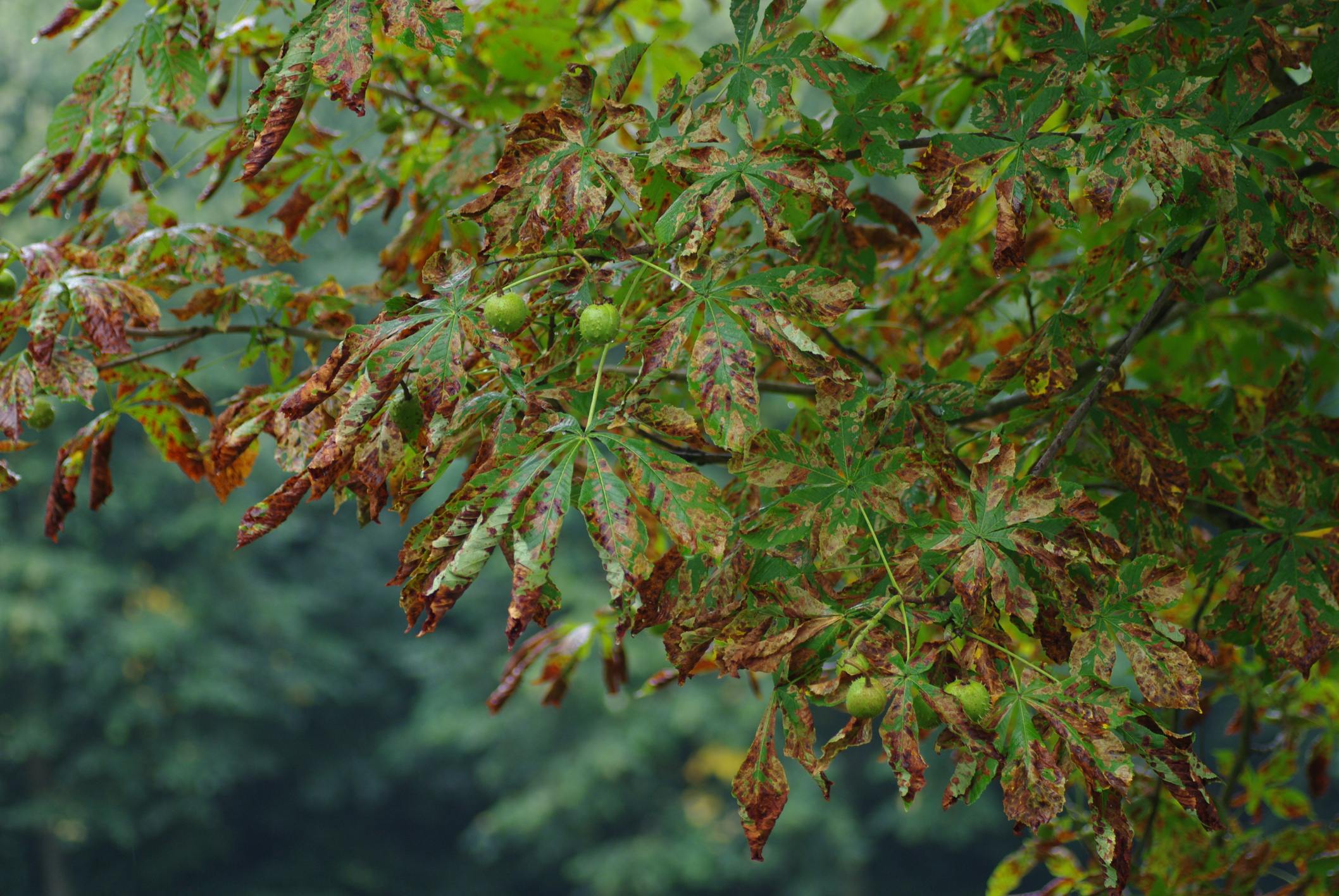 Diseased Tree