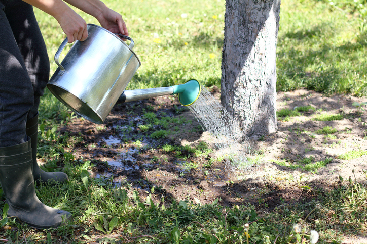 Watering a Tree